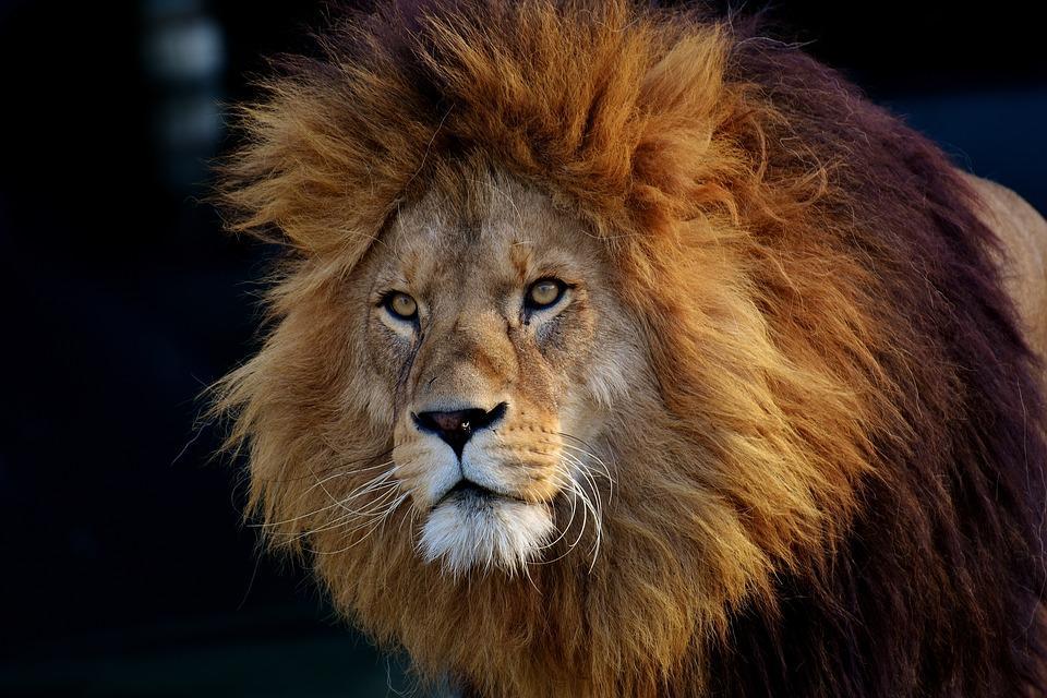 varpos jūrų liūtas