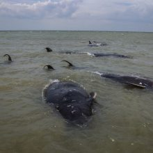 Indonezijoje nugaišo dešimtys į seklumą išplaukusių banginių