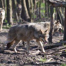 Kaime vilkai išpjovė keliasdešimt šunų: pamatę sukramtytus augintinius, žmonės gyvena baimėje