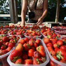Lietuvoje pradėta prekiauti savomis braškėmis: kainos šokiruoja pirkėjus