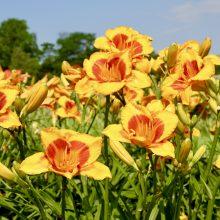 Kauno Botanikos sodas pasipuošė vasaros gėlynų šeimininkių – viendienių žiedais