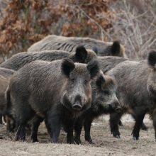 Žemaitijoje – kiaulių maras
