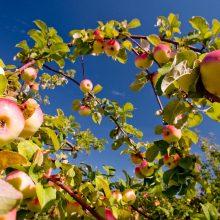 Kaip elgtis su sodininkų nenaudojama laisva žeme Seimas atsiklaus ir Vyriausybės