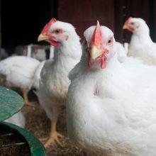 Jurbarko rajono ūkyje patvirtintas paukščių gripas