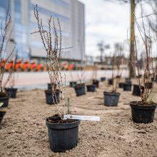 Akį džiugina žalias Vilnius: per pusmetį – tūkstančiai sodinukų