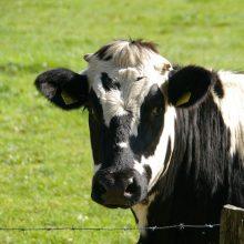 Žinia pieno gamintojams: paaiškėjo, kiek paramos sulauks už vieną pieninę karvę