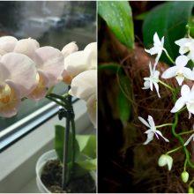 Kaip prižiūrėti, kad orchidėjos savo žiedais džiugintų visus metus?