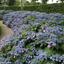 Hortenzijos – populiariosios želdynų karalienės