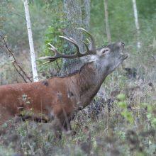 Lietuvos miškuose – reta galimybė išgirsti elnių baubimą
