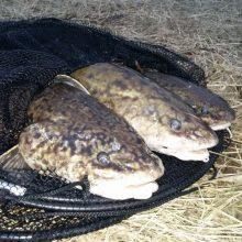 Vėgėlių nerštui apsaugoti – draudimas jas žvejoti