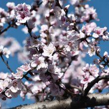 Japonijoje prasidėjo sakurų žydėjimo sezonas