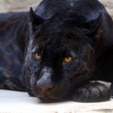 Vyras bute laikė panterą, o specialistams ją išgelbėjus – gyvūną pavogė