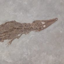 VU bus eksponuojama 15 mln. metų krokodilo fosilija