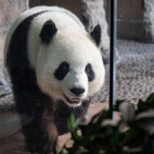 Laukiasi panda Meng Meng: tai yra didžiulė dovana