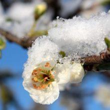 Gegužės sniegas atgaivino dirvožemį, bet baiminamasi šalnų