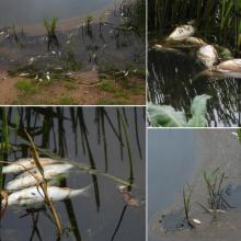 Baltarusija: žuvys Nemune gaišo dėl gamtinių ir klimato reiškinių