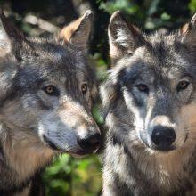 Šį sezoną daugiau nei pusšimčiu ketinama didinti vilkų sumedžiojimo limitą