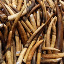 Didžiulė operacija: konfiskuota beveik 2 750 dramblių ilčių