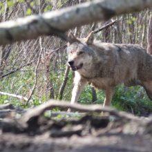 Už vilkų padarytą žalą Klaipėdos rajono ūkininkai gaus kompensacijas