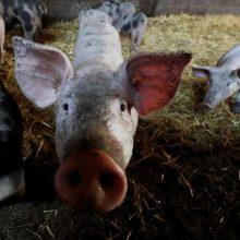Skambina pavojaus varpais:  įspėja dėl kiaulių maro plitimo Europoje