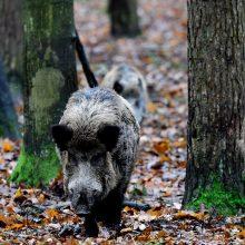 Nuo metų pradžios afrikinis kiaulių maras patvirtintas 569 šernams