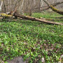Klaipėdos rajono gyventojai miškuose dairosi meškinio česnako