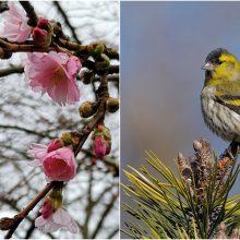 Uostamiestyje gamta nesiliauja stebinti: japoniškų sakurų žiedai jau išsiskleidė