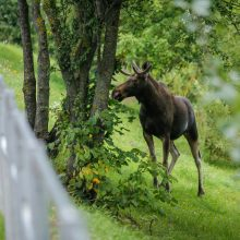 Prasideda tauriųjų elnių ir briedžių apsaugai skirta aplinkosaugos akcija