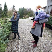 Klaipėdiečiai jau graibsto eglutes: Botanikos sodas siūlo nuomotis