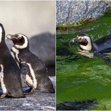 Jūrų muziejus švenčia Pasaulinę pingvinų dieną