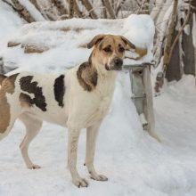 Klaipėdoje – šuns vagystė: prie būdos pririštą keturkojį nusegė nuo grandinės ir nusivedė