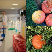 Chromu užterštuose sklypuose – inspektoriai: tirs klaipėdiečių vaisius ir daržoves