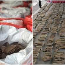 Singapūre konfiskuota didžiausia miesto istorijoje nelegalaus dramblio kaulo siunta