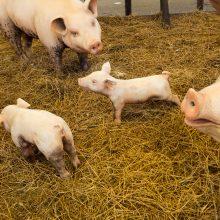 Slovakija pranešė apie pirmąjį afrikinio kiaulių maro protrūkį nedideliame ūkyje