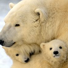 Į kaimą Rusijoje susirinko daugiau nei pusšimtis baltųjų lokių: kalta klimato kaita