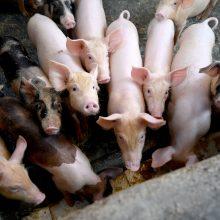 VMVT apie Europoje plintantį afrikinį kiaulių marą: Lietuvai atsipalaiduoti nereikėtų