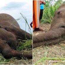 Šri Lankoje rasti keturi nugaišę drambliai, įtariama, kad gyvūnai nunuodyti