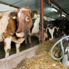Didinama susietoji parama už pienines karves