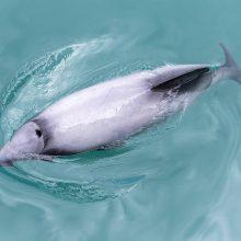 Naujosios Zelandijos įlankoje ant seklumos užplaukė dešimtys delfinų
