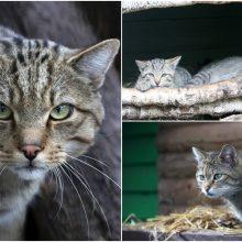Lietuvos zoologijos sodas kviečia pažinti miškines kates