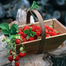 Braškių priežiūra pavasarį: sodinimas, trąšos, kova su piktžolėmis