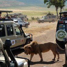 Į beribes Serengečio lygumas – stebėti gyvūnų