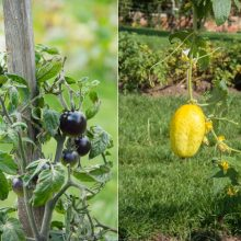 Kviečia vaikus pažinti juodus pomidorus, violetines bulves ir levandų kvapo mėtas