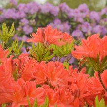 Į Botanikos sodą – gėrėtis gausiai sužydusiais rododendrais