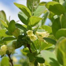 Žydintys sodo augalai ir šalnos: kas ką nugalės?