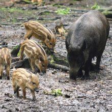 Afrikinio kiaulių maro aukų – dešimtys tūkstančių: ligą sustabdyti galime patys
