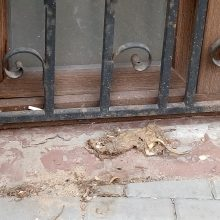 Klaipėdos miesto centre – negyva žiurkė