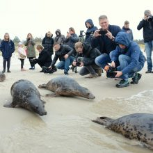 Jūrų muziejus Baltijos jūrai grąžino dešimt ruoniukų