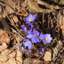 Pavasaris pėdina neskubėdamas
