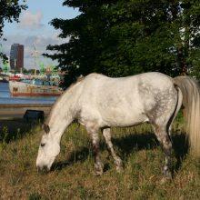 Pajūryje kompostuotas arklių mėšlas?